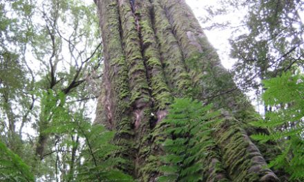 Madsen's Track Nature Walk – Melba Gully – Great Otway National Park – Lavers Hill – Victoria