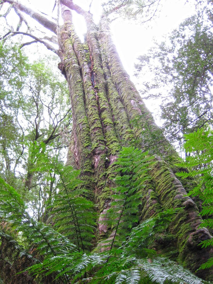 Big Tree - Melba Gully - Great Ocean Road
