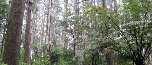 Sherbrooke Falls Walk - Dandenong Ranges National Park - Victoria