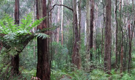 Olinda Creek (Short Circuit) – Dandenong Ranges National Park – Kalorama – Victoria