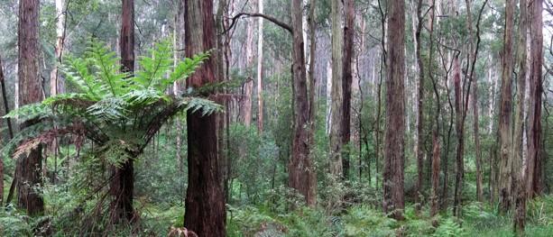 Olinda Creek (Short Circuit) – Dandenong Ranges National Park – Kalorama – Victoria