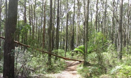 Grey Gum Walking Track – Dandenong Ranges National Park – Silvan – Victoria
