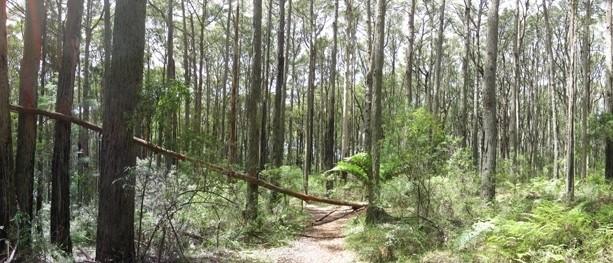 Grey Gum Walking Track – Dandenong Ranges National Park – Silvan – Victoria