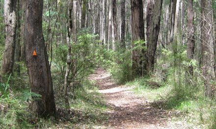 Messmate Walking Track – Dandenong Ranges National Park – Silvan – Victoria