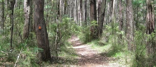 Messmate Walking Track – Dandenong Ranges National Park – Silvan – Victoria