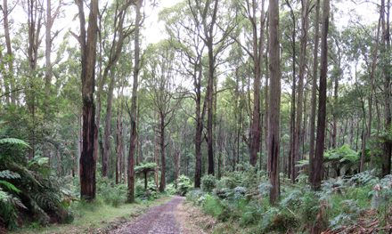 Valley Walk – Dandenong Ranges National Park – Olinda – Victoria