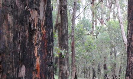 Ferntree Gully Circuit | Dandenong Ranges National Park – Upper Ferntree Gully – Victoria