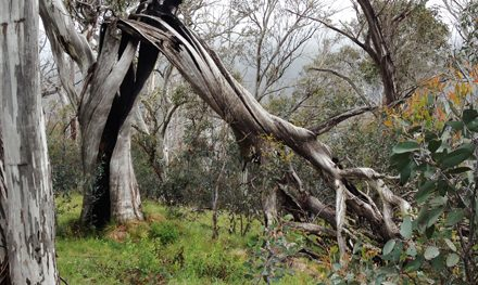 Have beacon will travel: The Bluff & Howqua River – Alpine National Park (VIC)