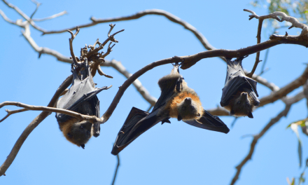 Melbourne's Flying-Fox Wetland Walk – Yarra Bend Park (Kew)