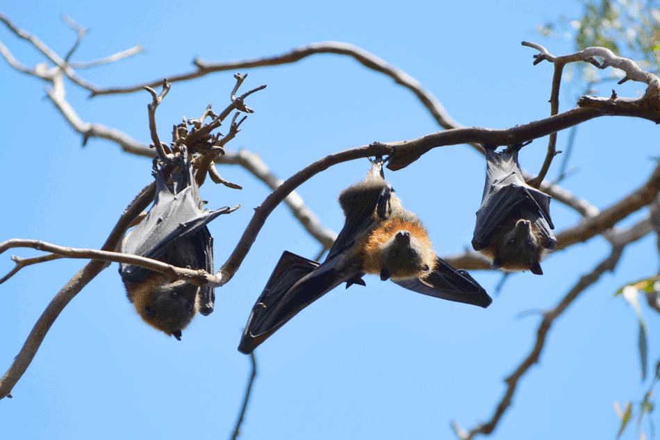 Melbourne's Flying-Fox Wetland Walk – Yarra Bend Park (Kew)