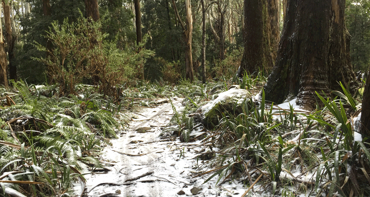 Hiking & Coffee: Warburton to Mt Donna Buang (via Mt Victoria)