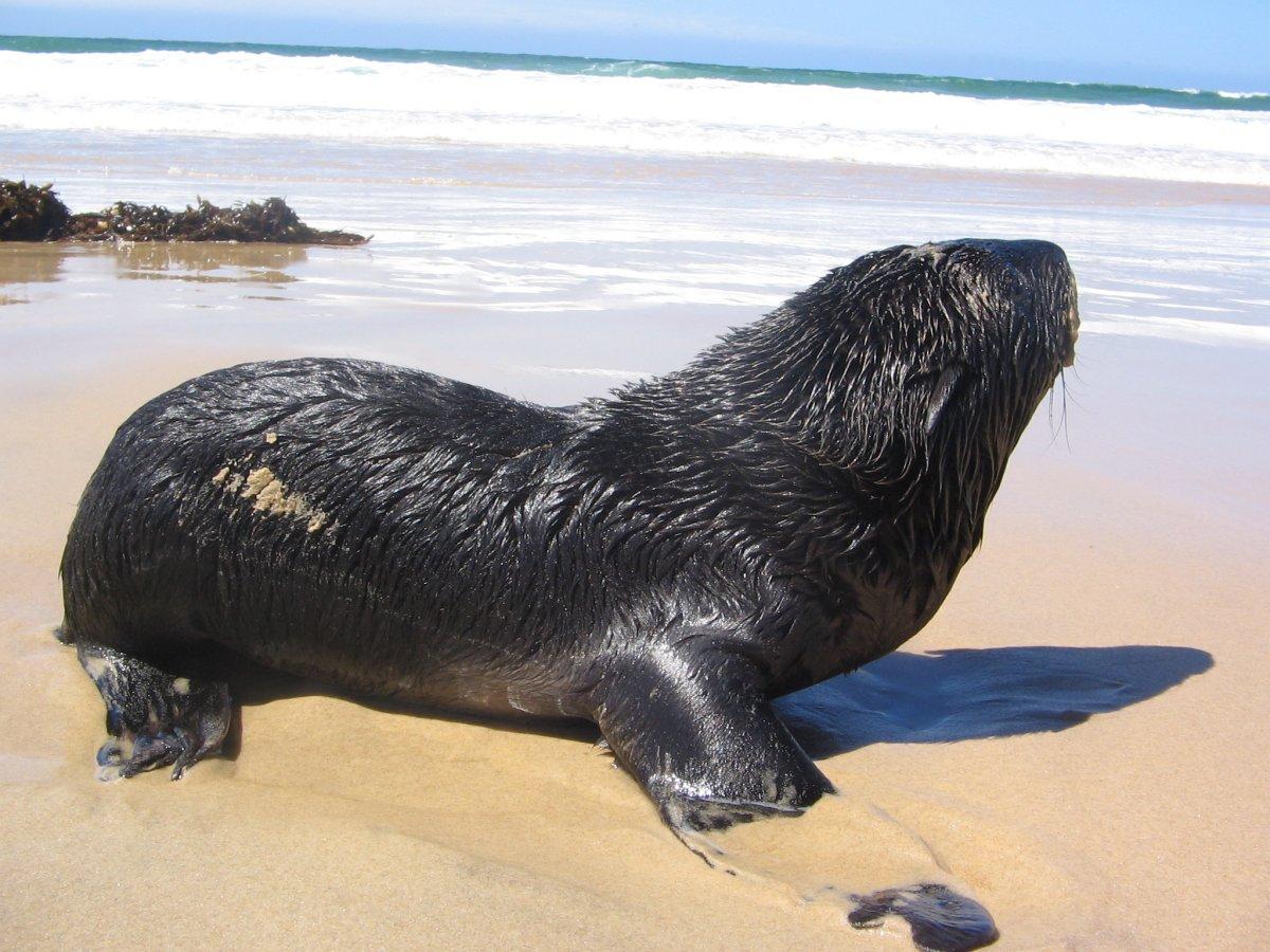 Seal Pup - Croajingolong National Park - Victoria