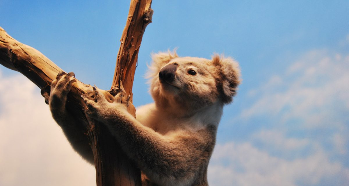 Koalas need us:  An urgent reason to repair the rivers of Melbourne's Western Plains