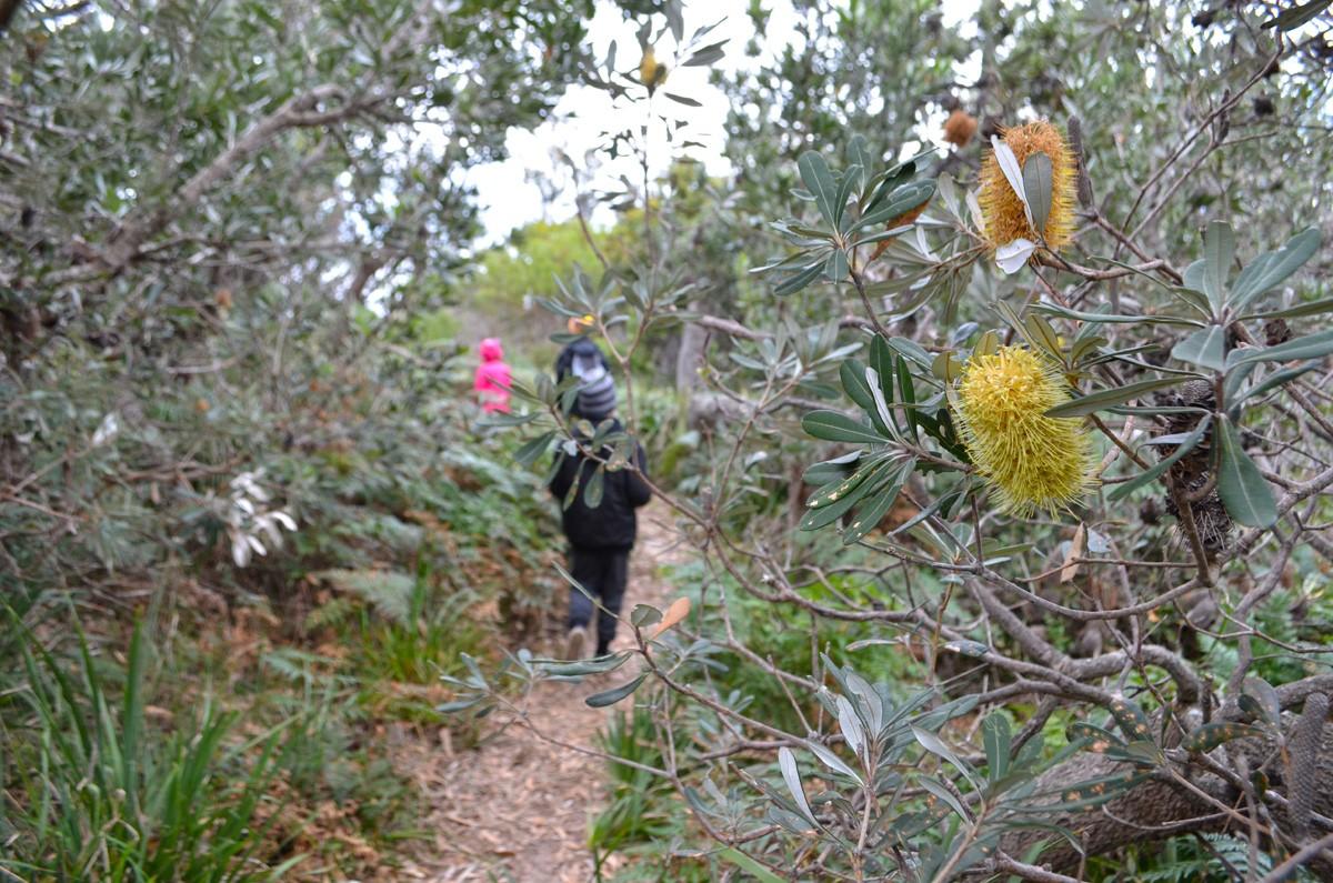 Banksia Walk - Burrewarra Point - Batemans Bay - Eurobadella