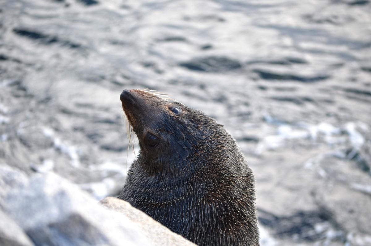 Seals at Bar Rock - Narooma - Eurobadella