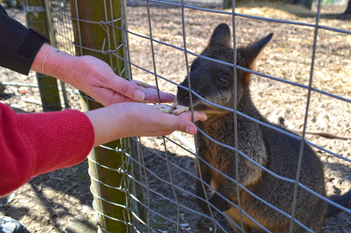 Tammar Wallaby - Birdland Animal Park - Batemans Bay