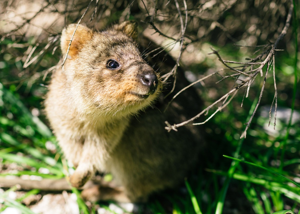 Hiking with the quokkas on Rottnest Island - Western Australia