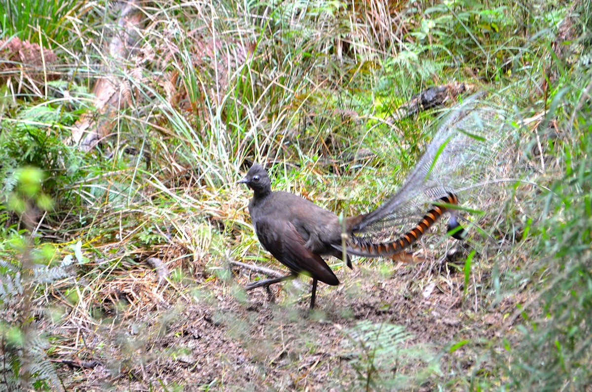 A Lyrebird on the Eastern Sherbrooke Forest Walk - Dandenong Ranges National Park - Victoria - Australia