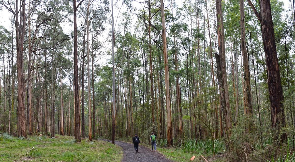 Eastern Sherbrooke Forest Walk - Dandenong Ranges National Park - Victoria - Australia