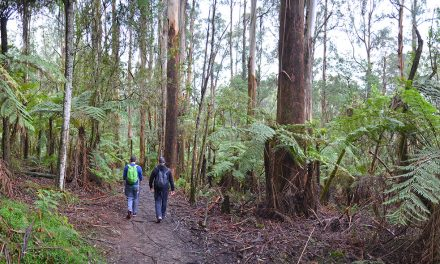 Eastern Sherbrooke Forest Walk – Dandenong Ranges National Park (Victoria)
