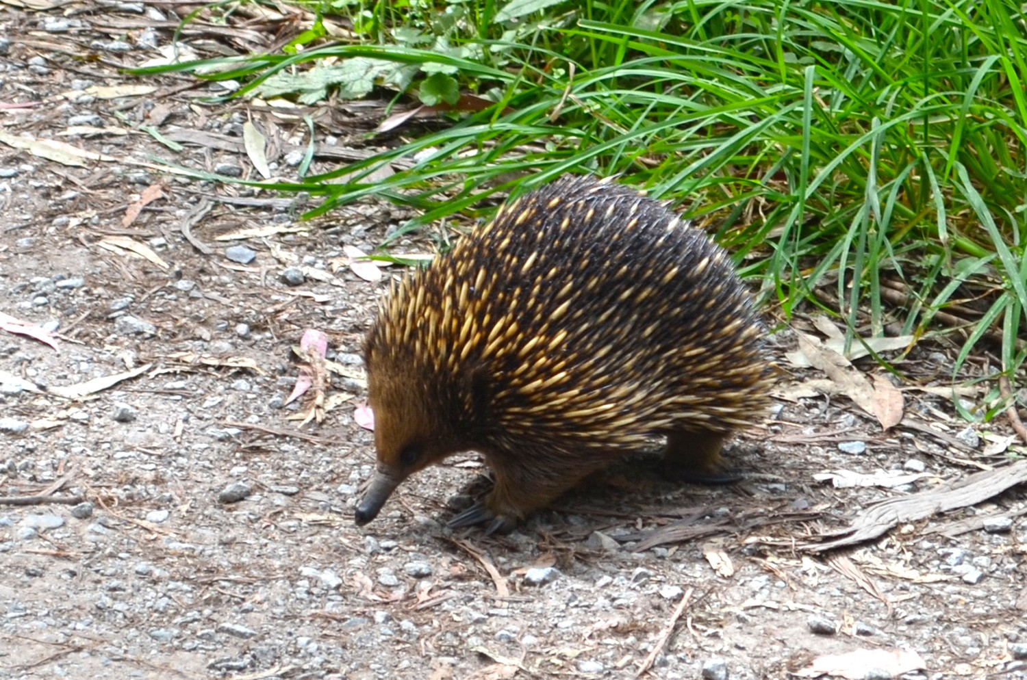 Echidna - 1000 Steps Walk - Dandenong Ranges National Park