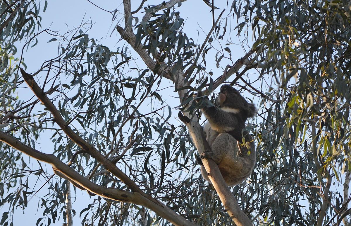 Tower Hill koala